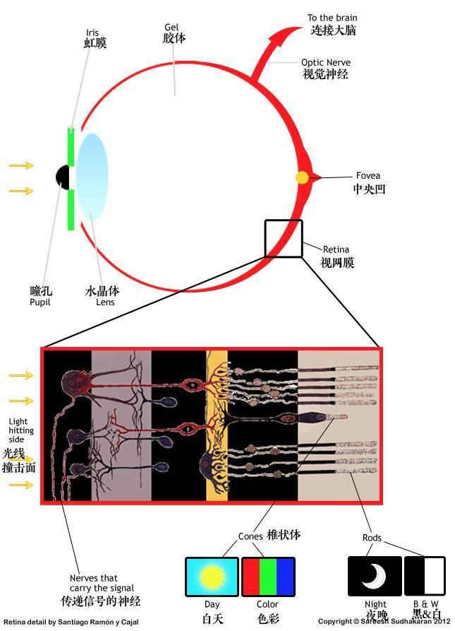 Dr. Optoglass 日志:人类眼睛构成、视觉原理、色彩空间等解析 - R站|学习使我快乐! - 2