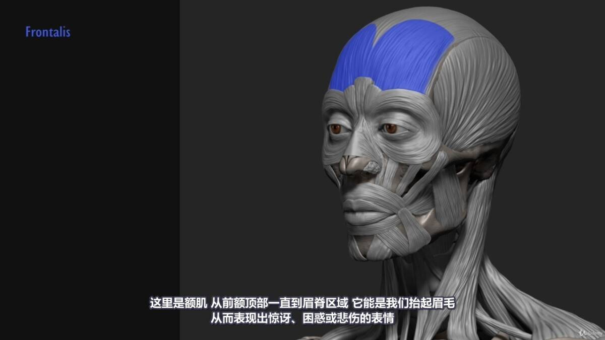 【R站译制】中文字幕 《藝用人體解剖學》人物角色绘画、建模、雕刻必备硬核姿势 Human Anatomy for Artists 视频教程 - R站|学习使我快乐! - 10