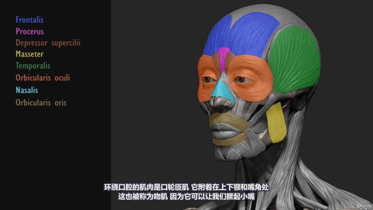 【R站译制】中文字幕 《藝用人體解剖學》人物角色绘画、建模、雕刻必备硬核姿势 Human Anatomy for Artists 视频教程 - R站|学习使我快乐! - 11